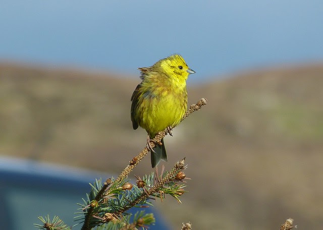 27101 - Yellowhammer, Isle of Mull