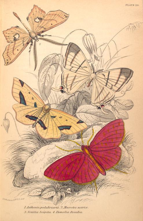 1. Asthenia podaliriaria; 2. Macrotes netrix; 3. Venilia Sospita; 4. Eumelia Rosalia.  (1843)