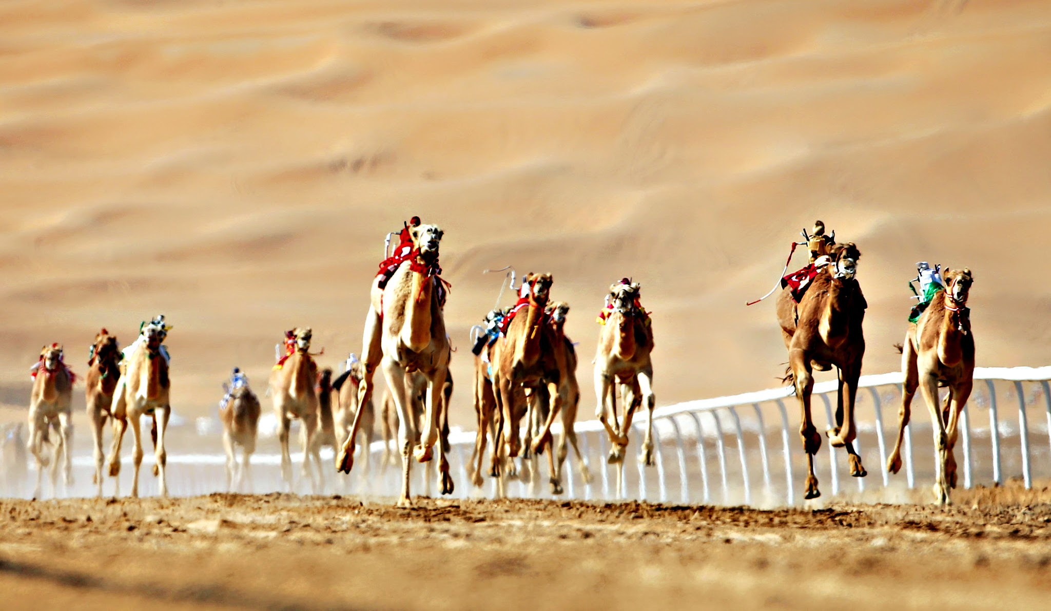 Camels compete during the Liwa 2016 Moreeb Dune Festival on January 5, 2016, in the Liwa desert, 250 kilometres west of the Gulf emirate of Abu Dhabi. The festival, which attracts participants from around the Gulf region, includes a variety of races (cars, bikes, falcons, camels and horses) or other activities aimed at promoting the country's folklore.