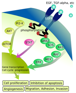 Epidermal growth factor receptor (EGFR) signal...