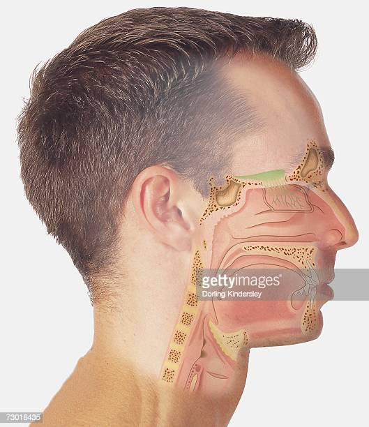 Male Throat Anatomy Stock Photos and Pictures | Getty Images