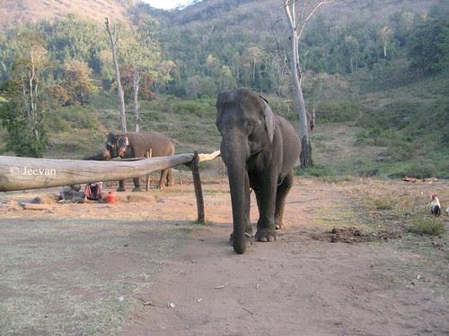 Kolikamuthi Elephant Camp , Topslip