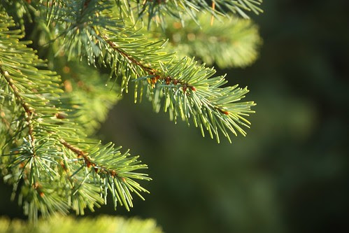07 Spruce