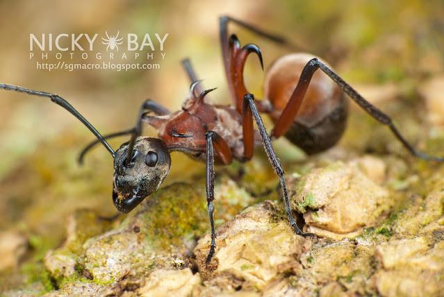 Fish Hook Ant (Polyrhachis bihamata) - DSC_4349