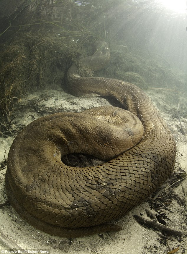 On the prowl: The bright sunlight suggests this anaconda is close to the surface and about the attack