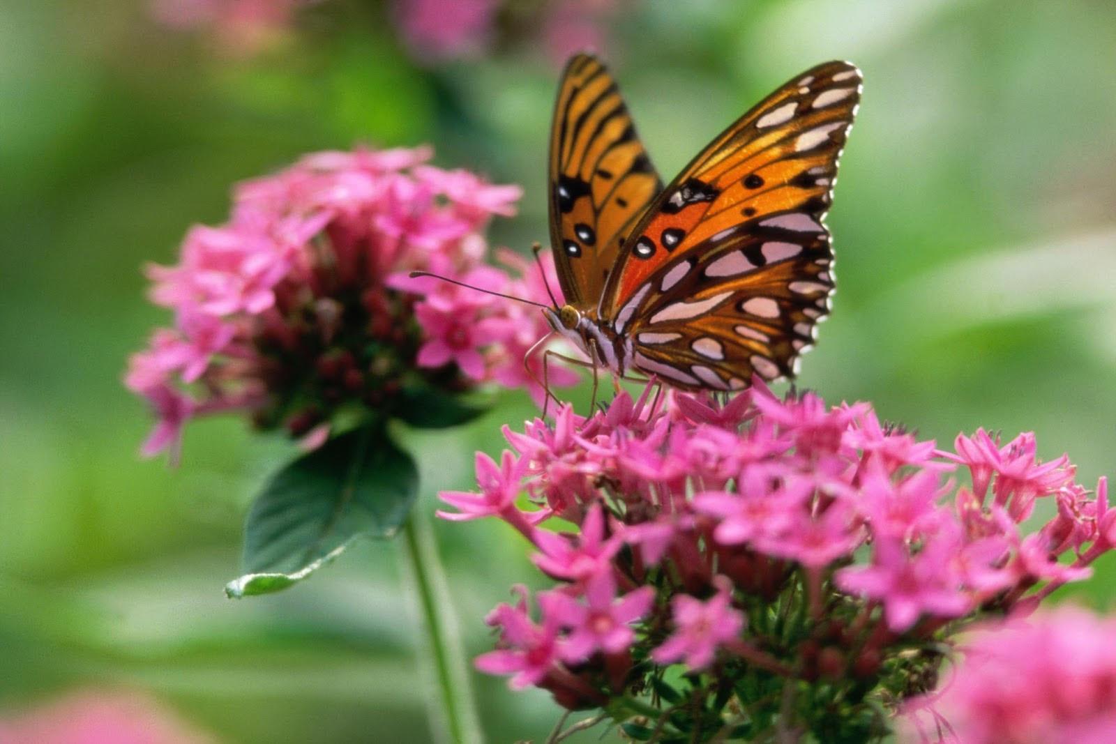 Beautiful butterfly wallpapers - SF Wallpaper