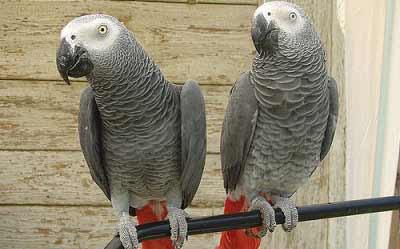Una pareja de papagayos grises.