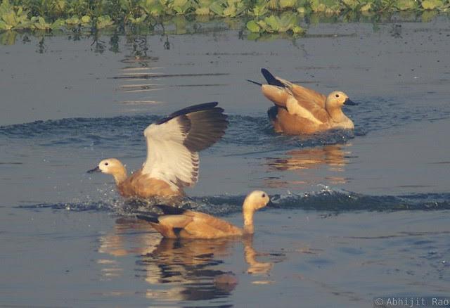 Brahmney Ducks