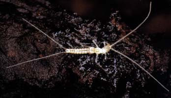 έντομο που ζει σε σπηλιές