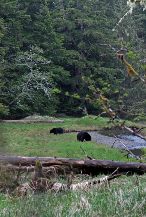 2 black bears in Son-i-Hat Creek, Kasaan, Alaska
