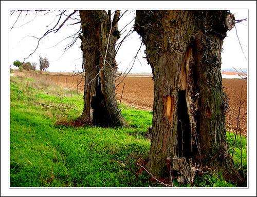 troncos de acacias espinosas