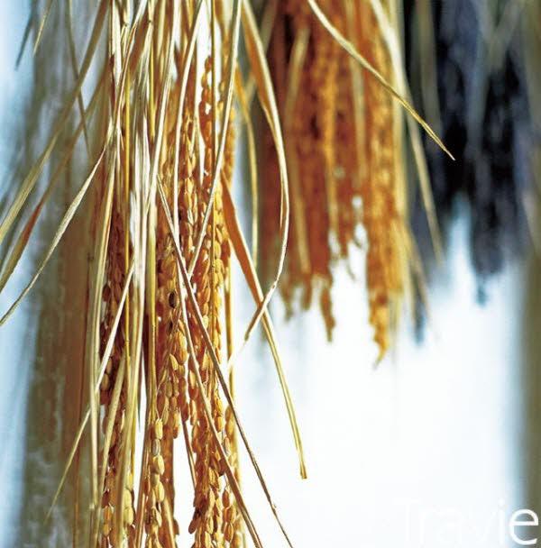 사케를 만드는 쌀의 벼는 크고 길다. 재배가 어렵기 때문에 밥으로 먹는 쌀보다 비싸다.