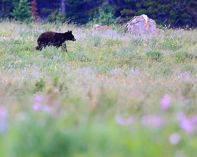 IMG_4180 Black Bear, Two Dog Flats, Glacier National Park
