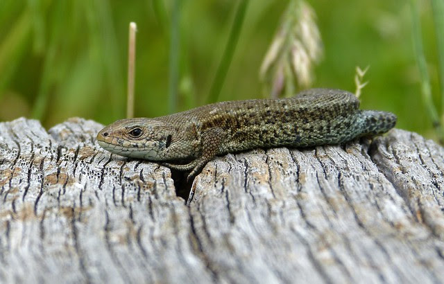 27506 - Common Lizard, WWT London