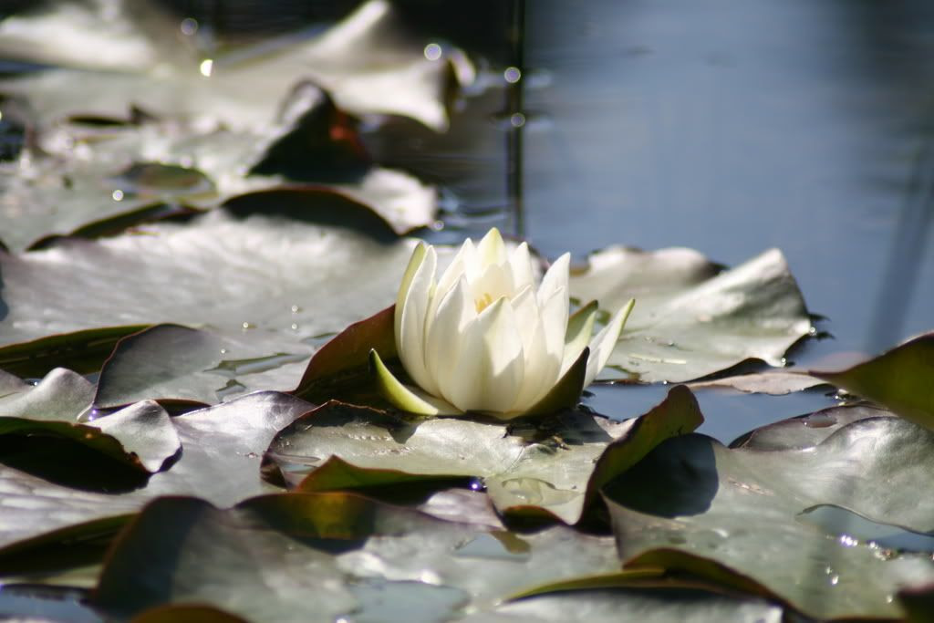 Nydelig vannlilje i solskinnet..