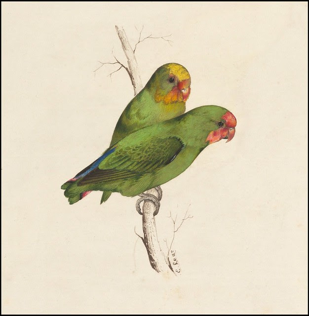 Two small green birds  hand - coloured lithograph