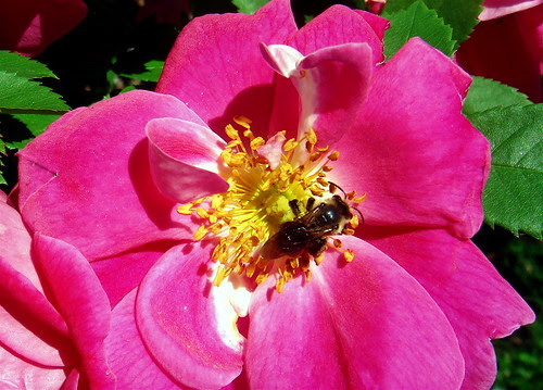 A rose with a young bee
