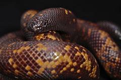 Calabaria reinhardtii (Mister Pupkin) Tags: snake african burrowing reinhardtii calabaria