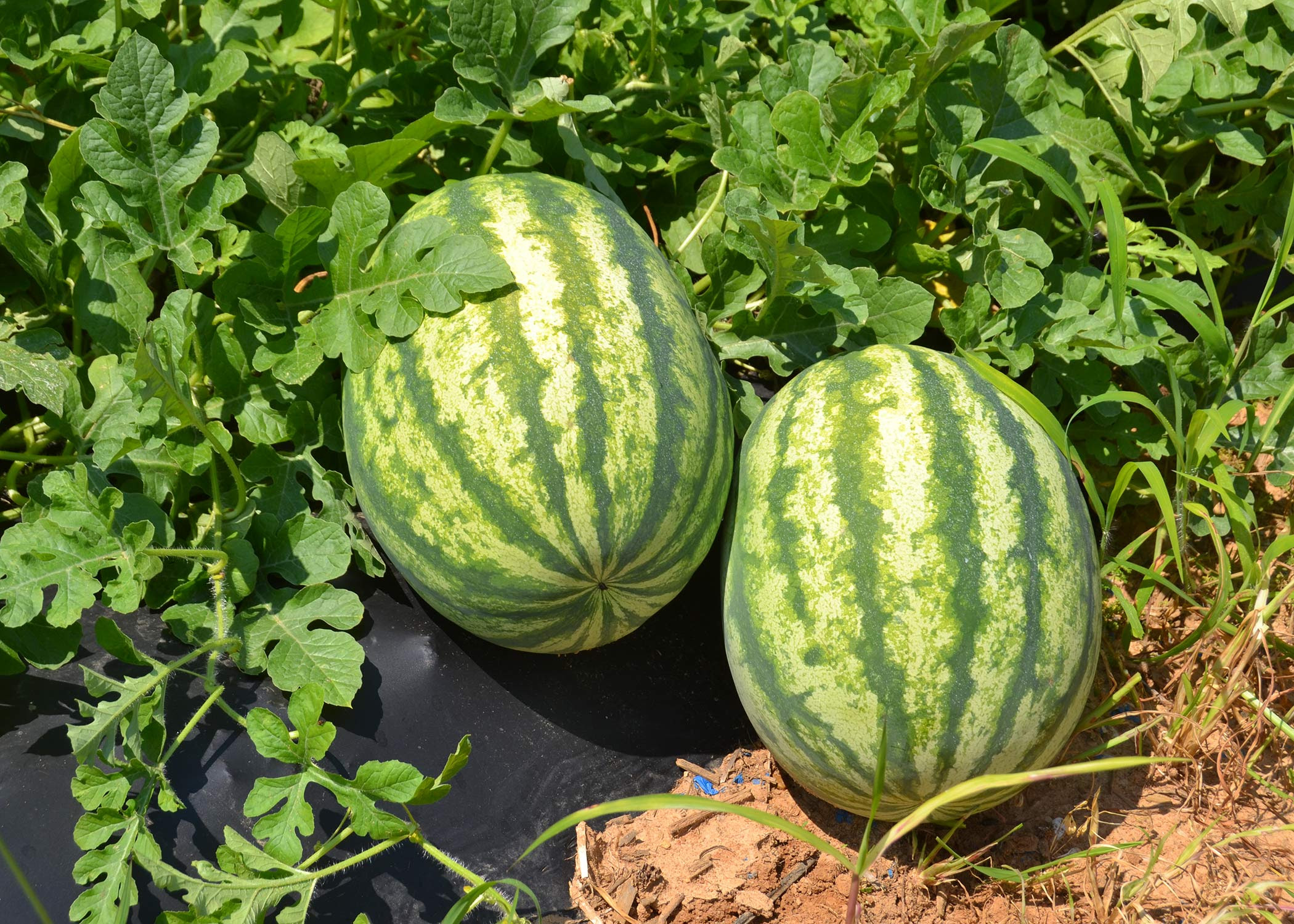 Why Are My Young Watermelon Leaves Crinkled And Pale Mississippi State University Extension Service
