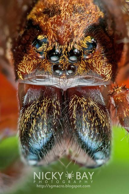Wandering Spider (Ctenidae) - DSC_8899