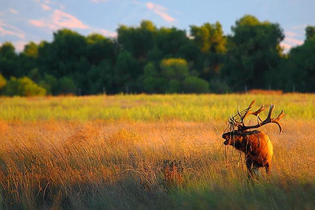 IMG_6562 Bull Tule Elk Bugling, San Luis National Wildlife Refuge