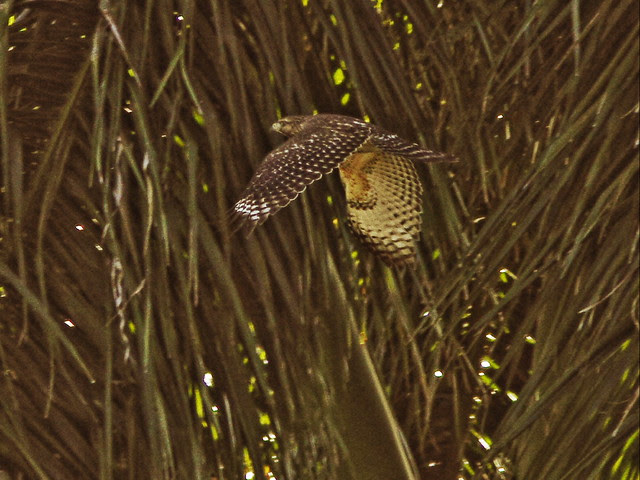 Red-shouldered Hawk 20131117