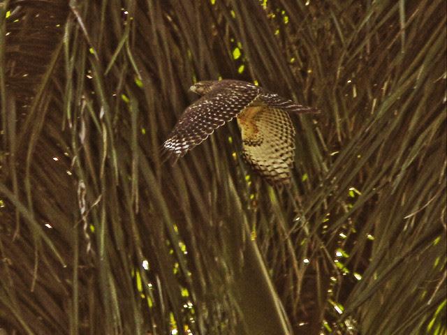 Red-shouldered Hawk 20131117