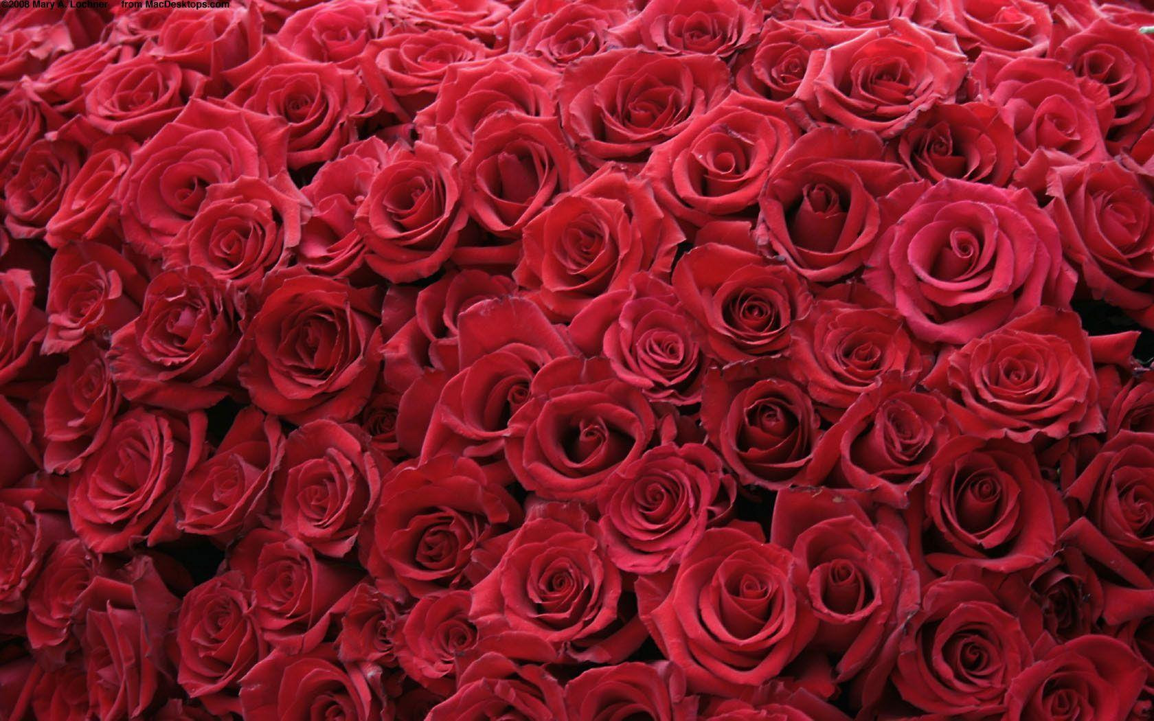 Free Roses Wallpapers Free Pictures On Greepx