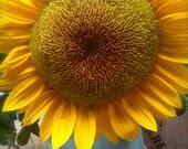 Mammoth Edible Sunflower Heirloom Seeds Rare Flowers Summertime Sunshine Garden