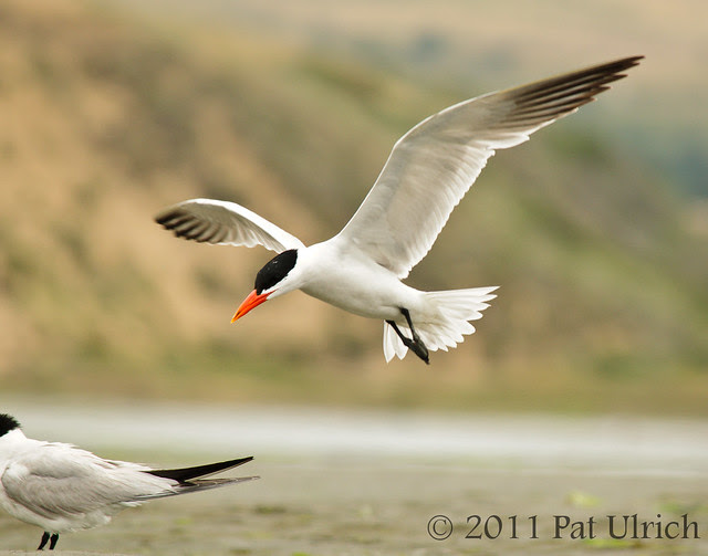Tern passing by - Pat Ulrich Wildlife Photography