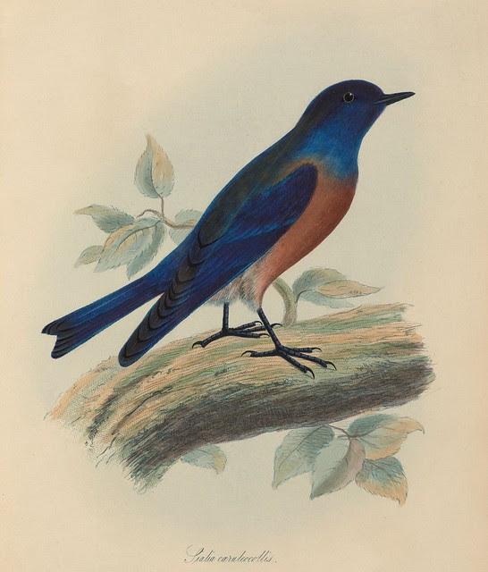 1820s zoology of Captain Beechey - Sialia caeruleocollis