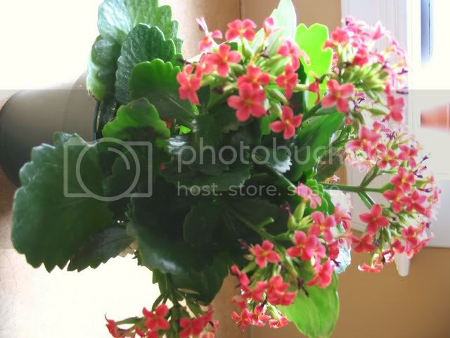 Kalanchoe Pictures, Images and Photos