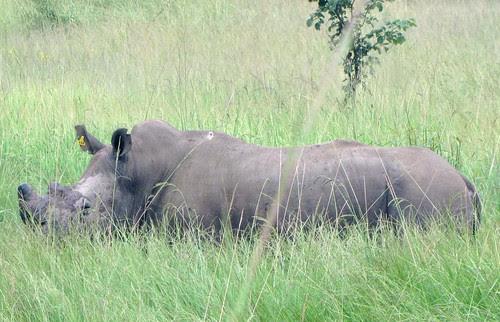 White Rhino by CharlesRay2010