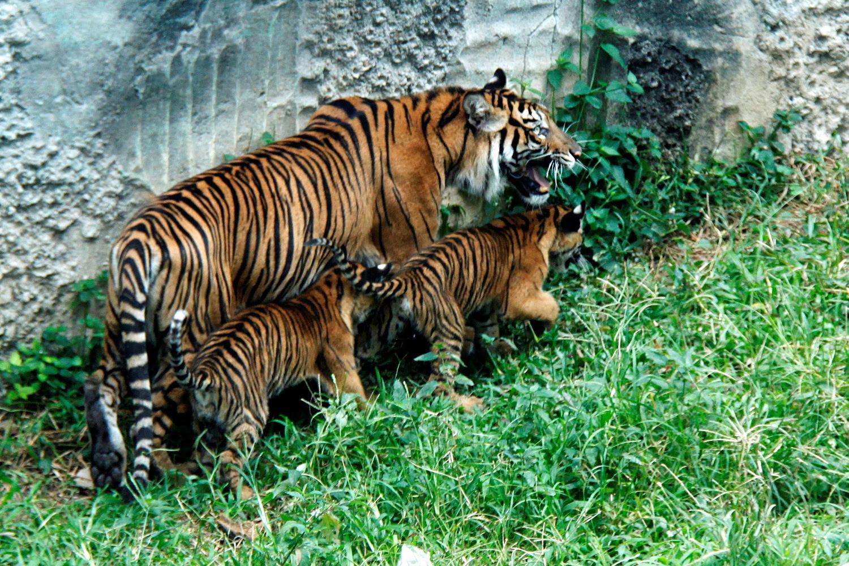 Harimau Sumatera Related Keywords & Suggestions Harimau Sumatera
