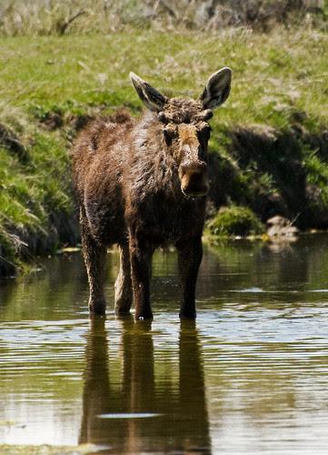 Wading Moose