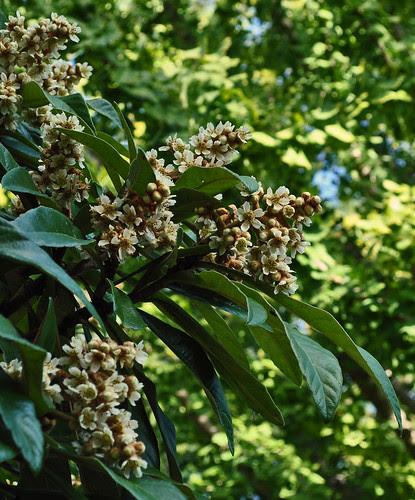 The Adams Garden - Eriobotrya japonica