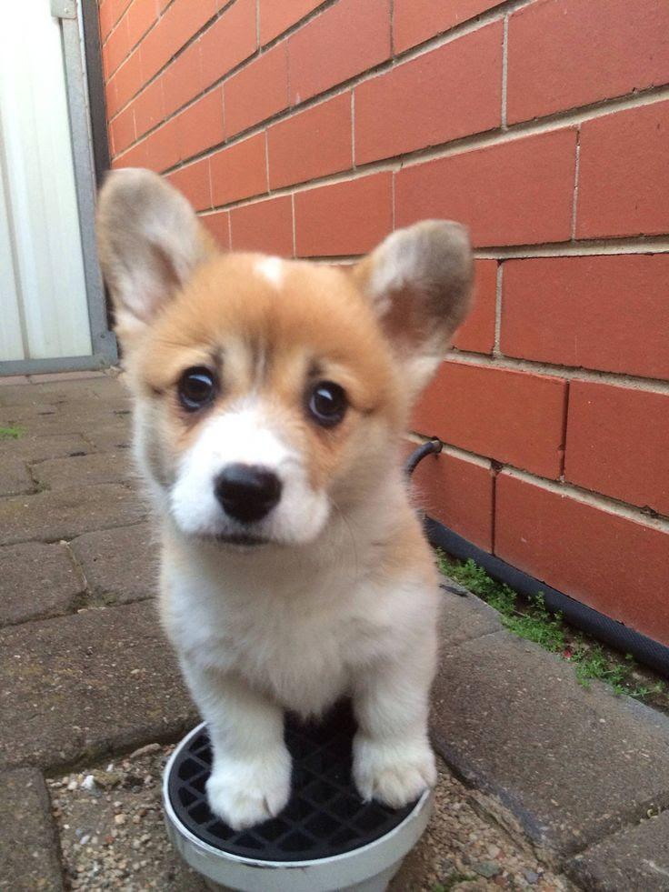 Corgi dog for Adoption in West Columbia, SC. ADN-545365 ...