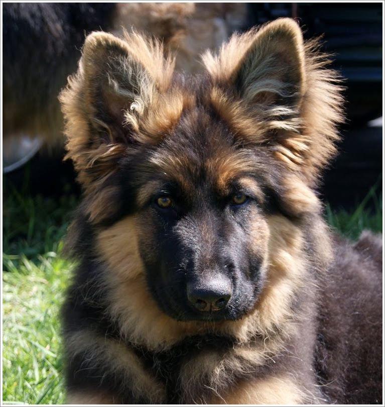 Long Haired German Shepherd Puppies Dogs For Sale Near Me In New South Wales Australia