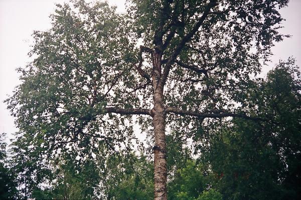 Анзер, берёза -крест возле Голгофы