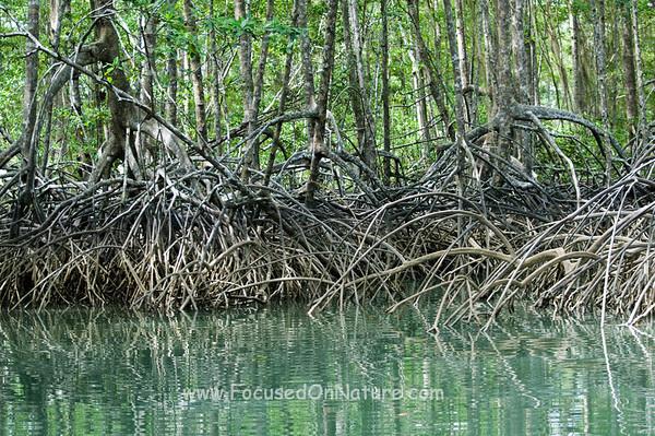 Mangroves, Golfo Dulce Costa Rica