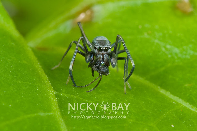 Ant-Mimic Jumping Spider (Salticidae) - DSC_7490