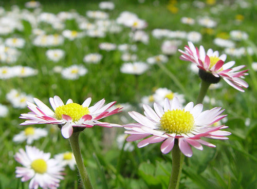 pink lawn daisies