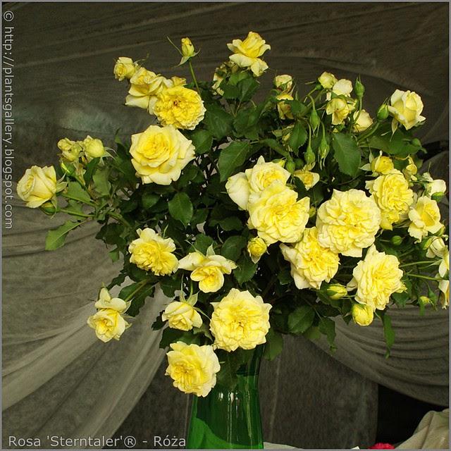 Rosa 'Sterntaler'® - Róża