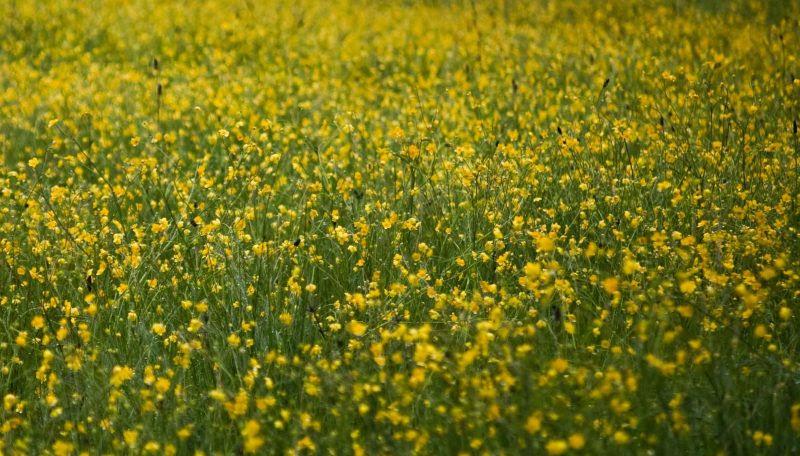 Field Of Flowers Redheaded Blackbelt