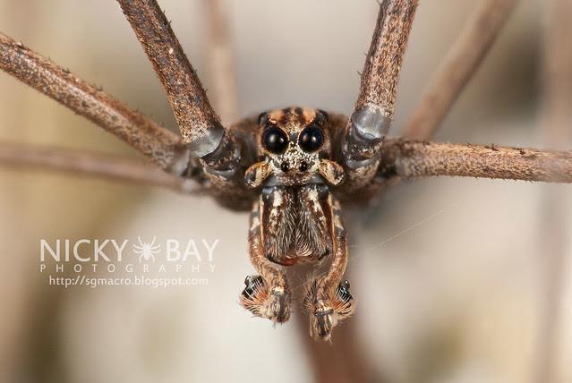 Net-Casting Spider (Deinopidae) - DSC_6209