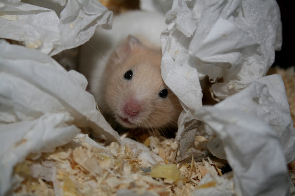 ziggy the hamster: No description