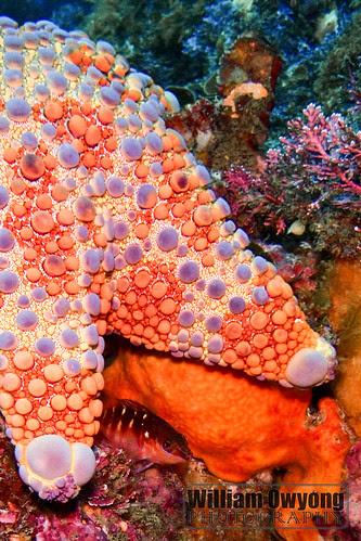 Firebrick Sea Star and Half Banded Sea Perch