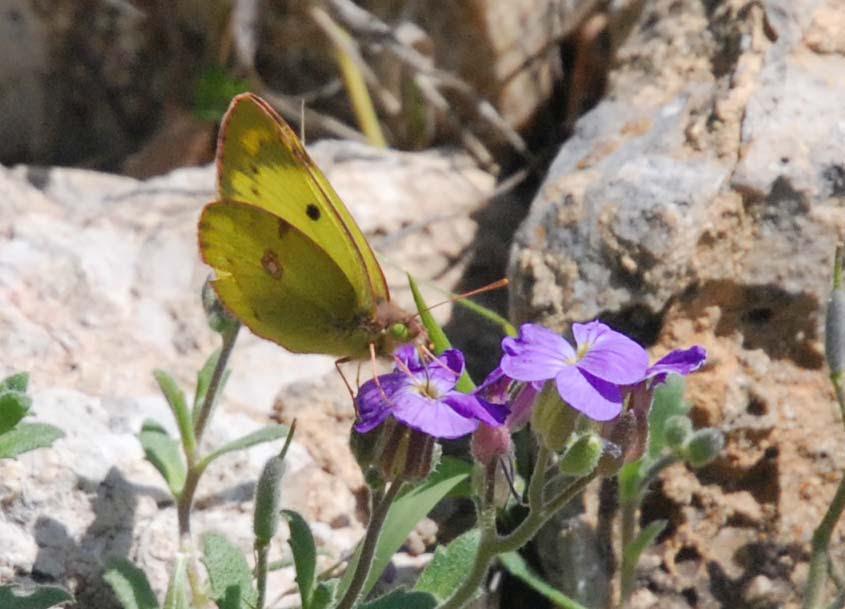 Photo de papillon le Souci avril Roquebillière