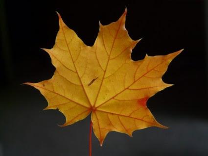 Maple Daun Jurnal Mewarnai Musim Gugur Gratis Foto Download Gratis