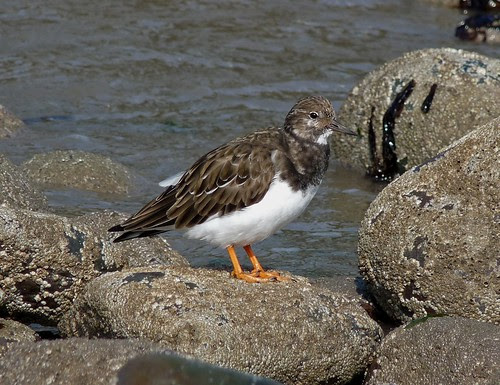 23516 - Turnstone, Mumbles, Gower